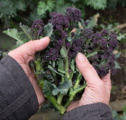 purple sprouting broccoli, seasonal, veg, vegetables, vegetarian, better food, bristol, healthy, greens, leafy, yum, delicious, healthy recipes, recipes, lifestyle, local, shop, bristol, food, recipe, food and drink, rice, mushroom