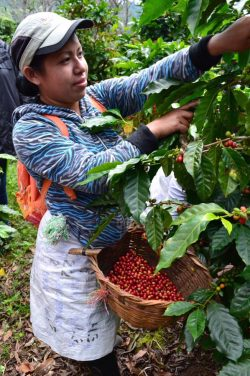 Female fairtrade coffee farmer in Sumatra