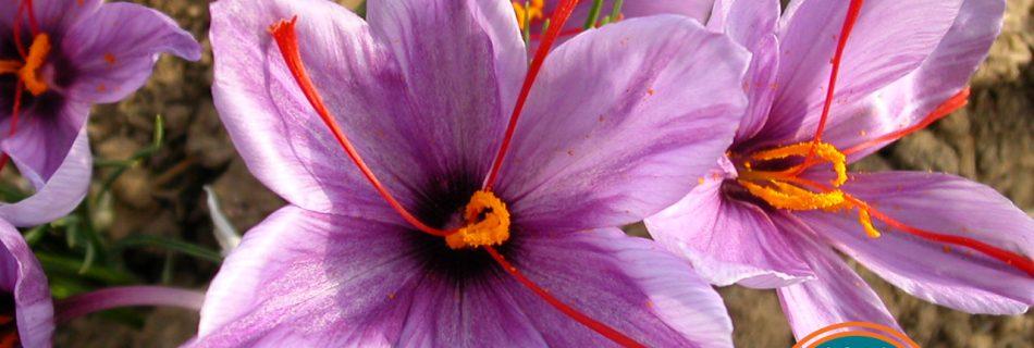Saffron: the ancient spice that lifts a low mood