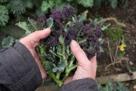 Purple Sprouting Broccoli and Mushrooms